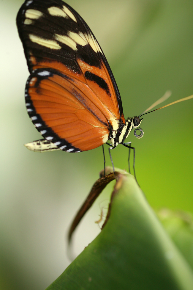 Butterfly, Panama, Panama photography, butterfly images, butterfly photography