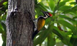 woodpecker, woodpecker photos, Black-Rumped Flameback Woodpecker, Black-Rumped Flameback Woodpecker photos, India wildlife, India birds, birding in India, Tamil Nadu