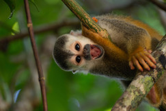 squirrel monkey, squirrel monkey, monkey photos, Manuel Antonio National Park, Costa Rica wildlife, Costa Rica monkeys