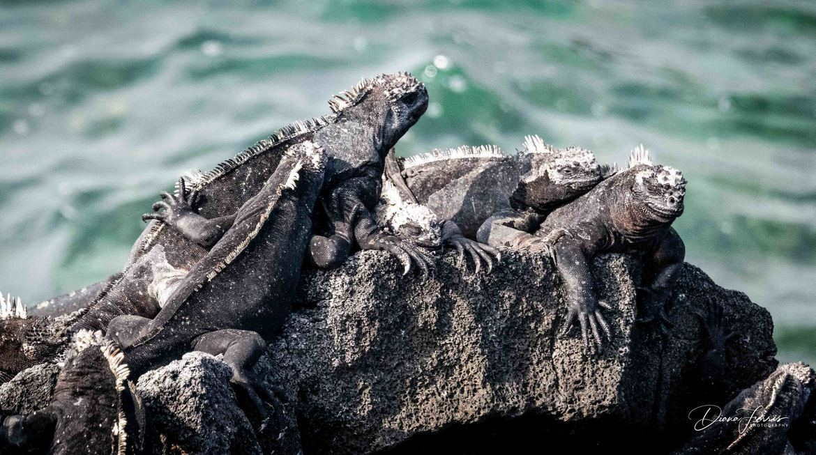 iguana, marine iguana, iguana photos, marine iguana photos, galapagos islands wildlife, galapagos wildlife photos