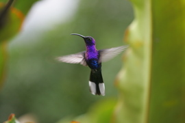 Hummingbird, Costa Rica, bird photography, hummingbird images, Costa Rica photography