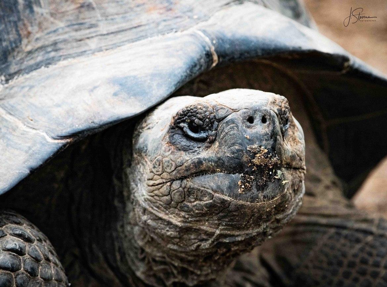 giant tortoise, giant tortoise photos, galapagos tortoise, galapagos islands, galapagos wildlife