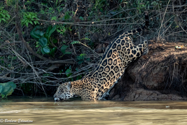 jaguar, jaguar photos, wild jaguars, pantanal wildlife, brazil wildlife, jaguars in the pantanal, jaguars in brazil, south american wildlife