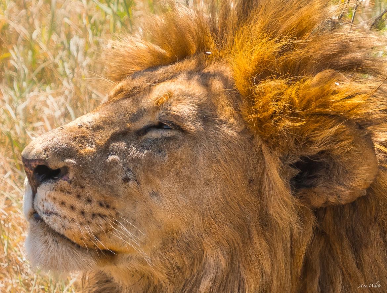 lion, lion photos, tanzania wildlife, tanzania wildlife photos, africa wildlife, africa wildlife photos, lions in tanzania, tanzania safari, tanzania safari photos, africa safari, africa safari photo, serengeti national park
