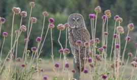 great gray owl, great gray owl photos, birding in Canada, owls in Canada, wildlife in Canada, Canada wildlife, Canada birding, Canada owls, Kettle Valley wildlife, Kettle Valley birding, great grey owl, great grey owl photos