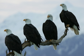 Bald Eagle, Alaska, Eagle, Bald Eagle Photography, Alaska Photography, American National Bird