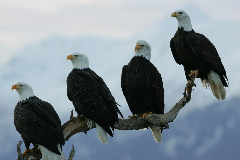 Bald Eagle, Alaska, Eagle, Bald Eagle Photography, Alaska Photography, American National Bird