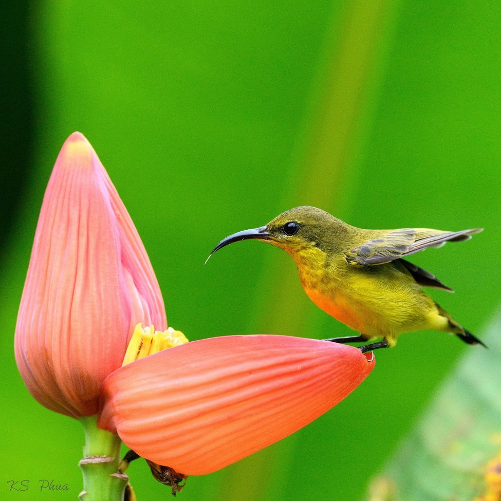 Olive-backed Sunbird, Olive-backed Sunbird photos, female, Olive-backed Sunbird, Singapore birds, birds in Singapore, wildlife in Singapore, Singapore wildlife