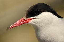arctic tern, arctic tern photos, Farne Islands, Farne Islands wildlife, birding on Farne Islands, Great Britain