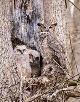 great horned owl, great horned owl photos, Pennsylvania wildlife, Pennsylvania birds, Epherta Park, baby owls, baby great horned owl