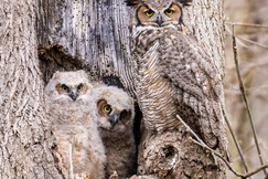 great horned owl, great horned owl photos, Pennsylvania wildlife, Pennsylvania birds, Epherta Park, baby owls, baby great horned owl