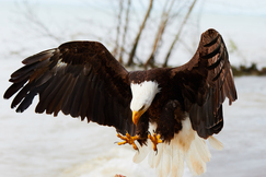 bald eagle, bald eagle photos, bald eagle images, Ontario wildlife, Ontario wildlife photos, Ontario birds, birds in Canada, bald eagles in Canada, bald eagles in Ontario