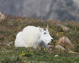 mountain goat, Yellowstone wildlife, mountain goats in yellowstone national park, yellowstone national park wildlife photos, united states wildlife, united states wildlife photos, beartooth highway, Montana, Montana wildlife