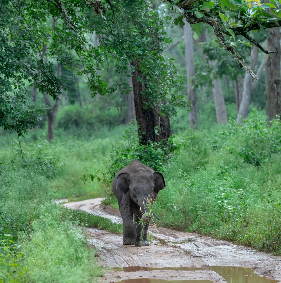 elephant, asian elephant, elephant photos, asian elephant photos, India wildlife, India wildlife photos, Asia wildlife photos, Asia wildlife, Kabini Forest wildlife photos, Kabini Forest
