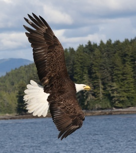 bald eagle, bald eagle photos, bald eagle images, united states wildlife, american wildlife photos, american birds, birds in the united states, bald eagles in america, America's national bird, birding in Alaska, Alaska wildlife