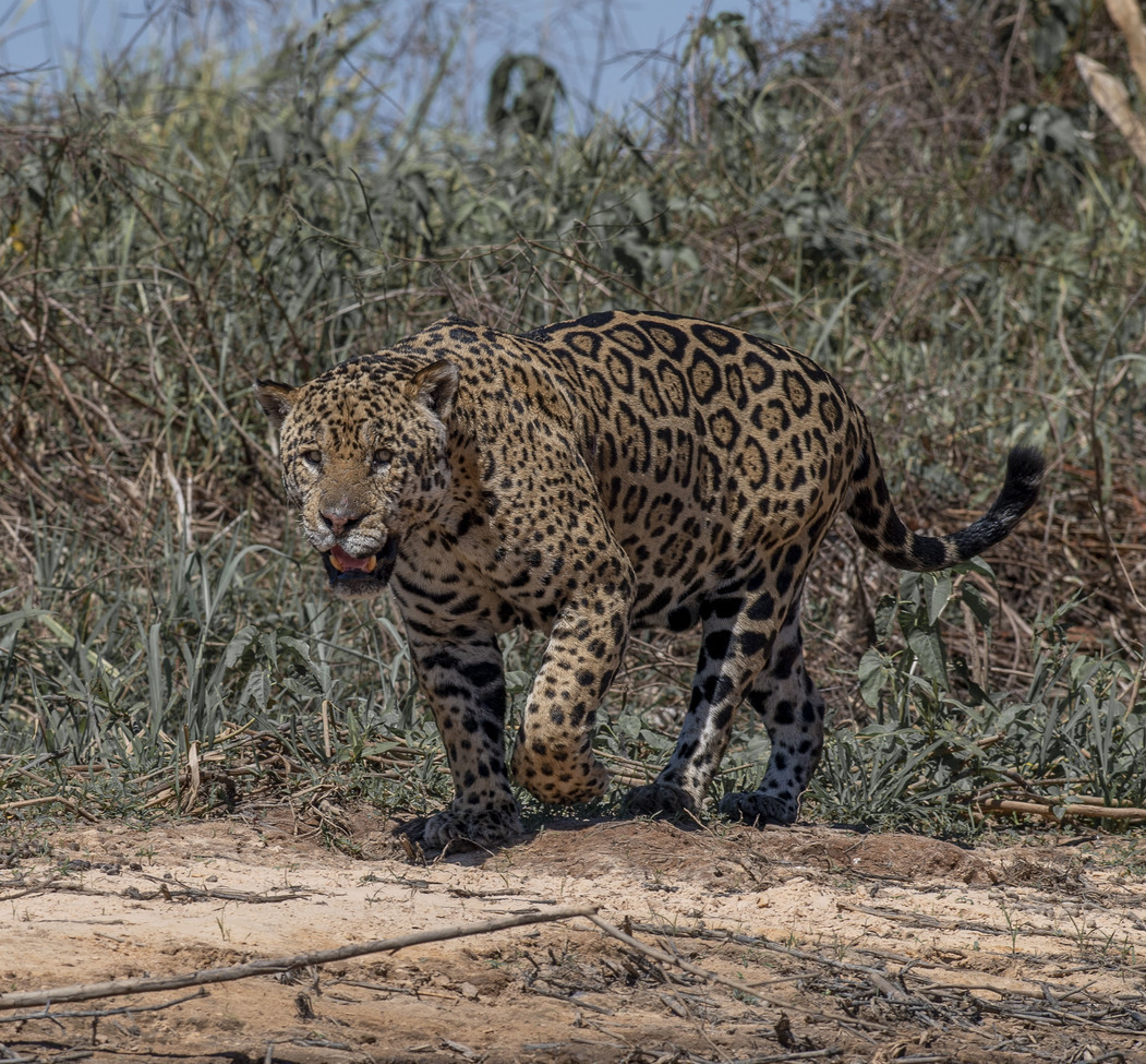 jaguar, jaguar photos, Brazil wildlife, Brazil wildlife photos, jaguars in Brazil, jaguars in the Pantanal, Pantanal wildlife