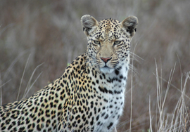Grid leopard south africa
