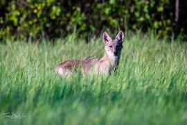 coyote, coyote photos, coyotes in Texas, photos of coyotes in Texas, wildlife in Texas, animals in Texas, photos of animals in Texas
