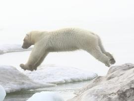 polar bear, polar bear in Alaska, polar bear in Kaktovik, Alaska wildlife, Alaska polar bears, Alaska wildlife images, polar bear images, Kaktovik wildlife photos, polar bear photos, Kaktovik wildlife, Alaska wildlife photos