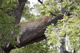 leopard, leopard photos, leopard images, south africa wildlife, south africa wildlife photos, south africa safari, south africa safari photos, african safari photos, african cats, leopards in africa, leopards in south africa, kruger national park