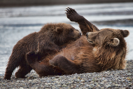 Grid momma and cub in katmai