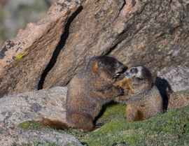 marmot, marmot photos, Colorado wildlife, marmots in Colorado, Mount Evans, Mount Evans wildlife, marmots on Mount Evans