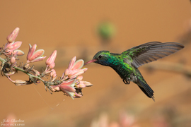 hummingbird, humming bird images, humming bird photos, united states wildlife, united states birds, american hummingbirds, Arizona birds, Arizona wildlife, Broad-billed Hummingbird, Broad-billed Hummingbird photos