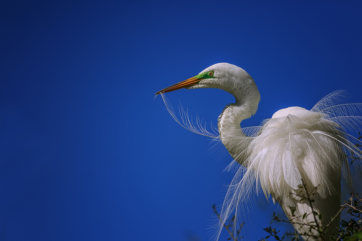 great egret, great egret photos, egret photos, egret, birding in the US, birding in Florida, Florida wildlife, Florida birds