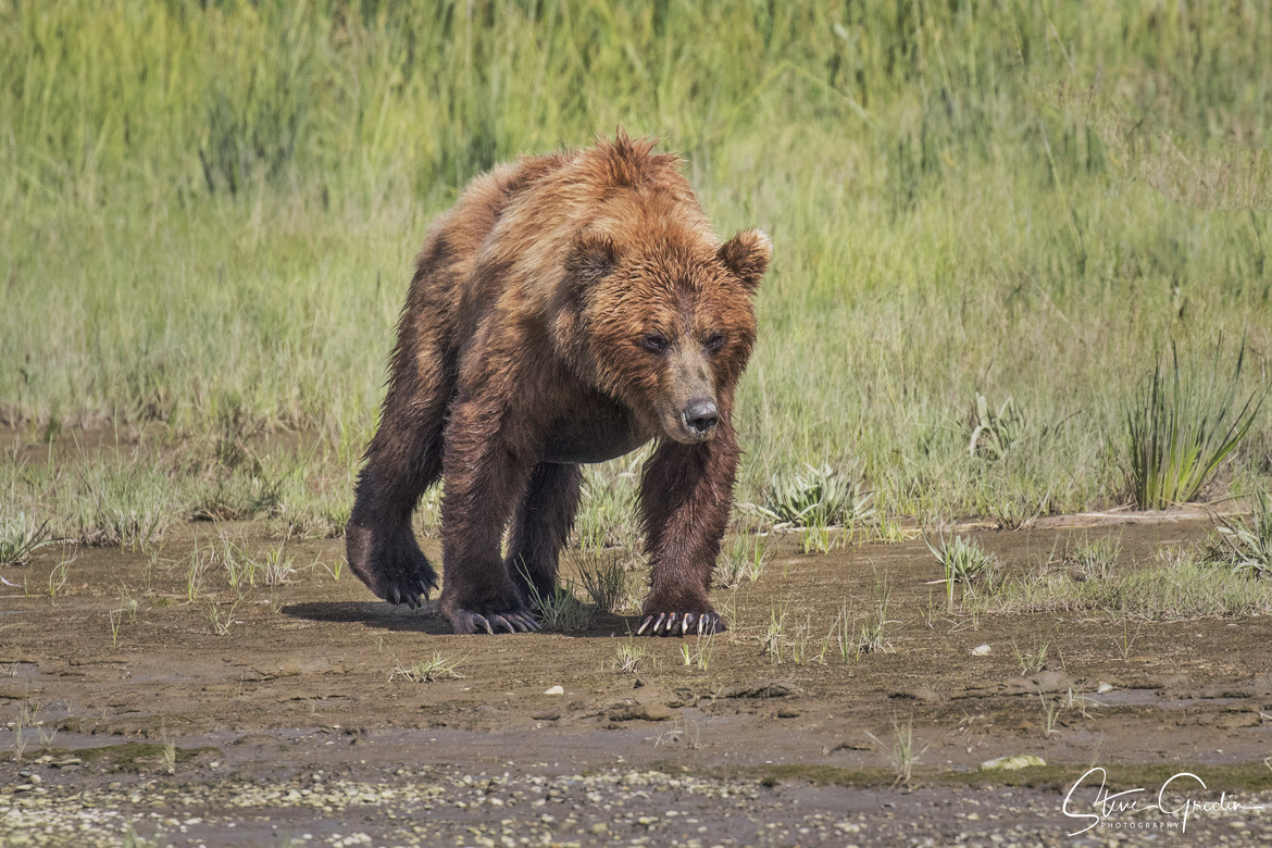 brown bear, grizzly bear, brown bear photos, grizzly bear images, grizzly cub, brown bear cub, Lake Clark National Park, Lake Clark National Park wildlife, united states wildlife photos, Alaska wildlife, Alaska bears, Alaska photos