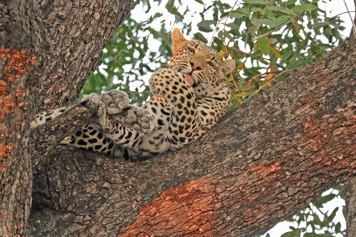 leopard, leopard photos, leopard images, botswana wildlife, botswana wildlife photos, botswana safari, botswana safari photos, african safari photos, african cats, leopards in africa, leopards in botswana, chitabe, chitabe wildlife