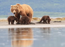 Grizzly, Alaska, bear cubs, brown bear, Alaska wildlife, bear photography, grizzly photography, Alaska photography
