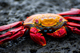 Grid crab on rocks 15