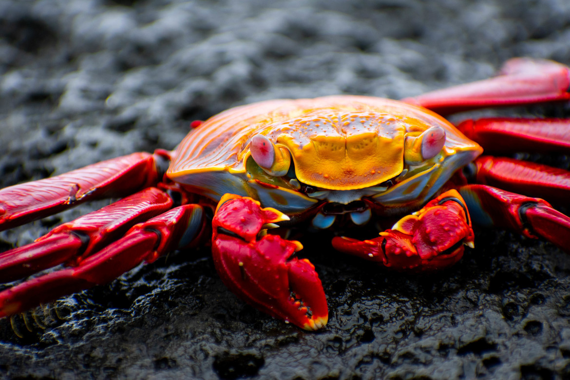 sally lightfoot crab, photos of sally lightfoot crab, sally lightfoot crabs, Galapagos crabs, sally lightfoot crabs in the galapagos, Galapagos Islands wildlife, Santa Cruz Island, Santa Cruz Island wildlife