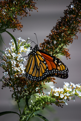 monarch butterfly, monarch butterfly photos, US wildlife, monarchs in the US, New Jersey, monarch migration