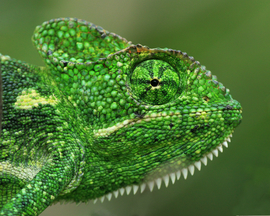 chameleon, chameleon photos, chameleons in India, India photos, India wildlife, India wildlife photos, telangana