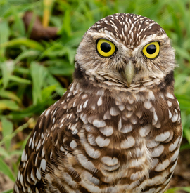 burrowing owl, burrowing owl photos, owl photos, Florida birds, Florida wildlife, birds in the US, wildlife in the US