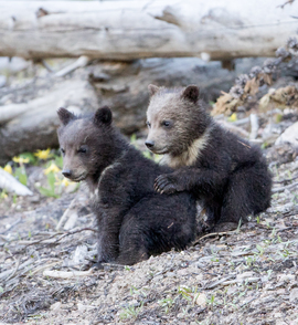 Grid grizzly bear cubs