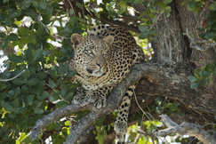 leopard, leopard photos, leopard images, botswana wildlife, botswana wildlife photos, botswana safari, botswana safari photos, african safari photos, african cats, leopards in africa, leopards in botswana, okavango delta, okavango wildlife