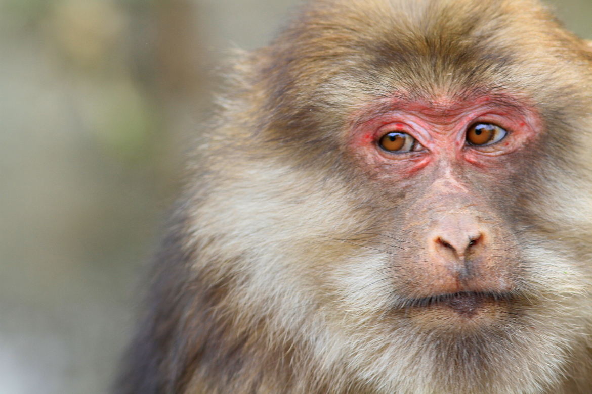 China, Macaque, monkey photography, macaque photography, macaque images, China wildlife, China photography