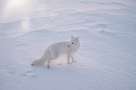arctic fox, arctic fox photos, Churchill wildlife, wildlife in Churchill, foxes in Churchill, Canada wildlife, foxes in Canada