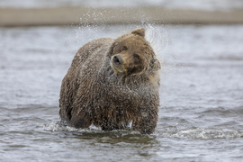 brown bear, grizzly bear, brown bear photos, grizzly bear images, Salmon Creek, Salmon Creek wildlife, united states wildlife photos, Alaska wildlife, Alaska bears, Alaska photos, bears at Salmon Creek
