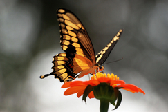 swallowtail butterfly, swallowtail butterfly photos, swallowtails, Deerfield Beach wildlife, butterflies in the US