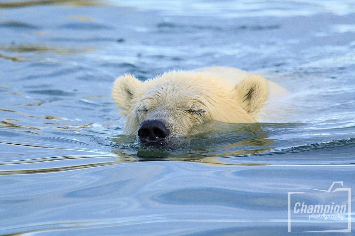 polar bear, polar bear in Alaska, polar bear in Kaktovik, Alaska wildlife, Alaska polar bears, Alaska wildlife images, polar bear images, Kaktovik wildlife photos, polar bear photos, Kaktovik wildlife, Alaska wildlife photos, swimming polar bear