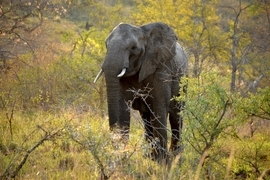 elephant, African elephant, African elephant photos, elephant photos, elephants in South Africa, South African elephants, Mkuze Falls, Mkuze Falls wildlife