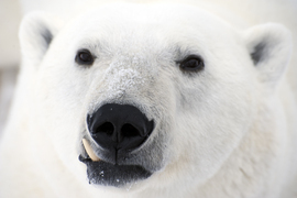 Polar bear, Churchill, Canada, polar bear photos, polar bear photography, polar bear images, Canadian wildlife