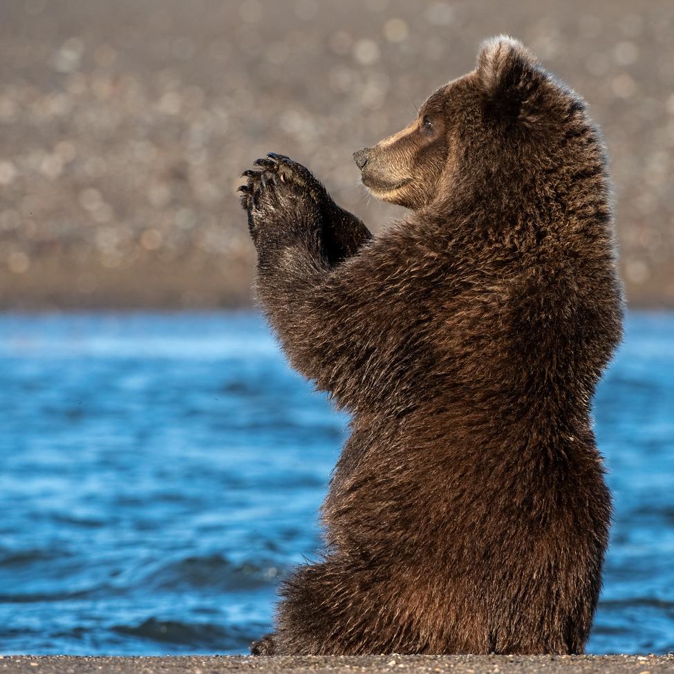 brown bear, grizzly bear, brown bear photos, grizzly bear images, grizzly cub, brown bear cub, Lake Clark National Park, Lake Clark National Park wildlife, united states wildlife photos, Alaska wildlife, Alaska bears, Alaska photos