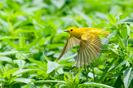yellow warbler, yellow warbler photos, birding in the US, birding in Pennsylvania, US wildlife, US birds, Pennsylvania wildlife, Pennsylvania birds