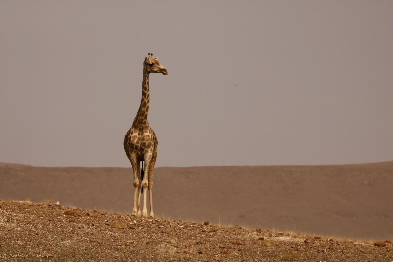 giraffe, giraffe photos, giraffe images, namibia, namibia wildlife, giraffes in Namibia, Desert Rhino Camp