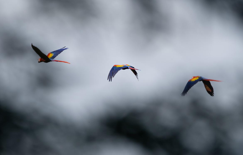 scarlet macaw, scarlet macaw photos, costa rica birds, costa rica macaws, Manuel Antonio Park, costa rica wildlife photos