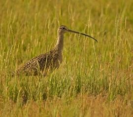 curlew, curlew photos, curlew birds, curlew bird photos, Montana birds, birding in Montana, Montana wildlife